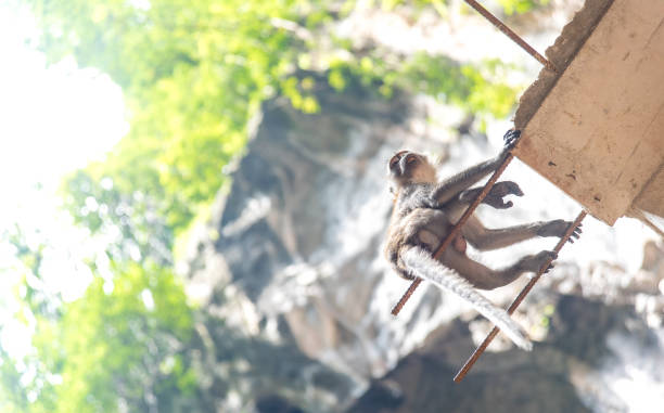 macaco na caverna Malásia - foto de acervo
