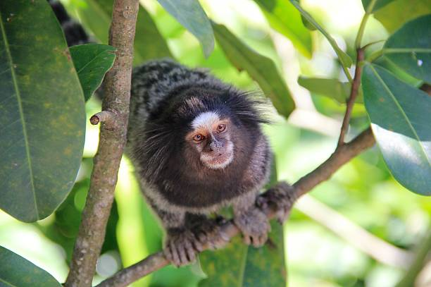 Monkey in the jungle, Rio de Janeiro A marmoset monkey from Brazil, in the rainforest of Rio de Janeiro. common marmoset stock pictures, royalty-free photos & images