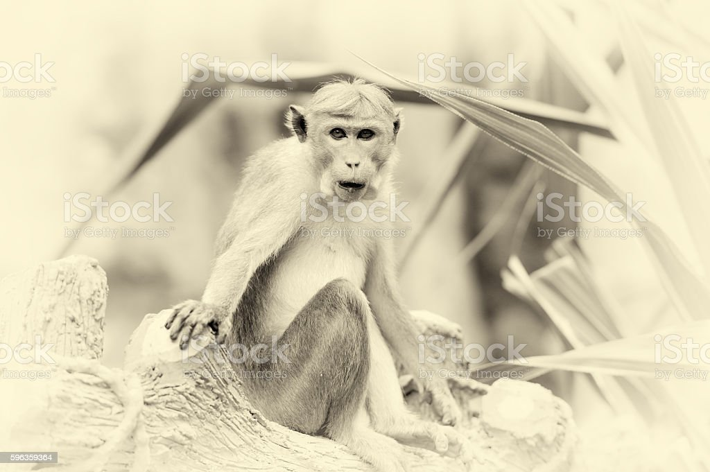 Monkey in the living nature. Vintage effect royalty-free stock photo