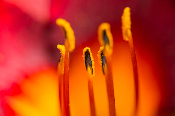 monkey in the middle - stamen stock photos and pictures