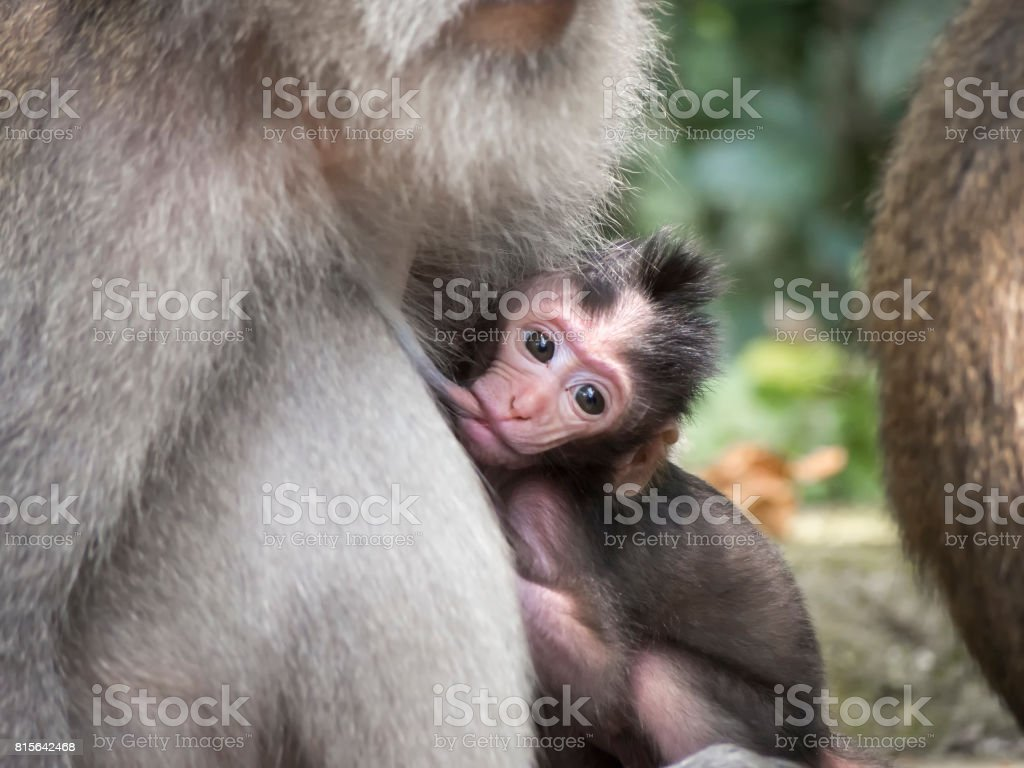 Monkey in Ubud Forest, Bali, Indonesia stock photo