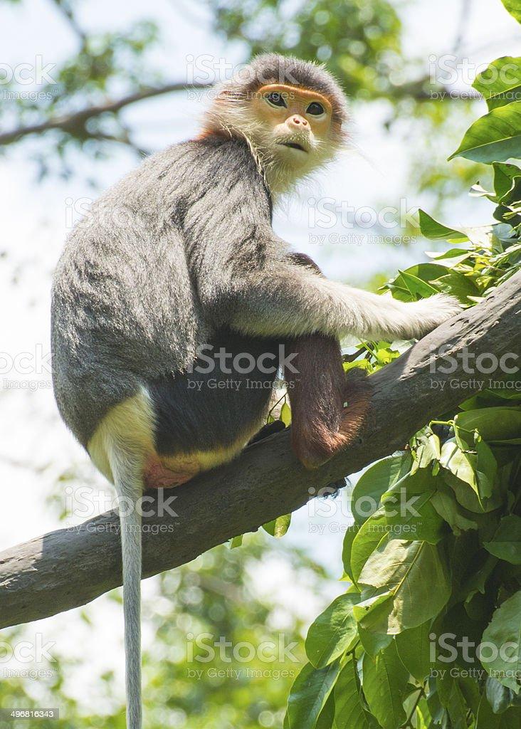 Monkey in wildlife, Douc Langur in tree. stock photo