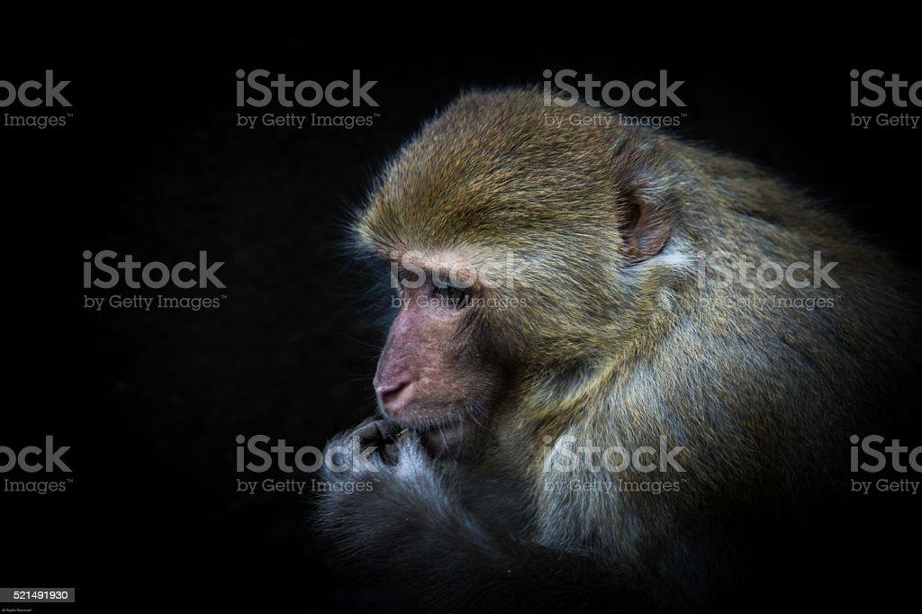 monkey is eating something stock photo