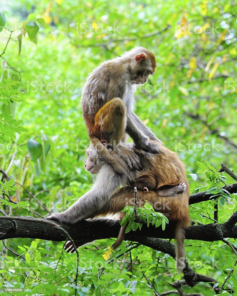 monkey is sitting on the other's head royalty-free stock photo