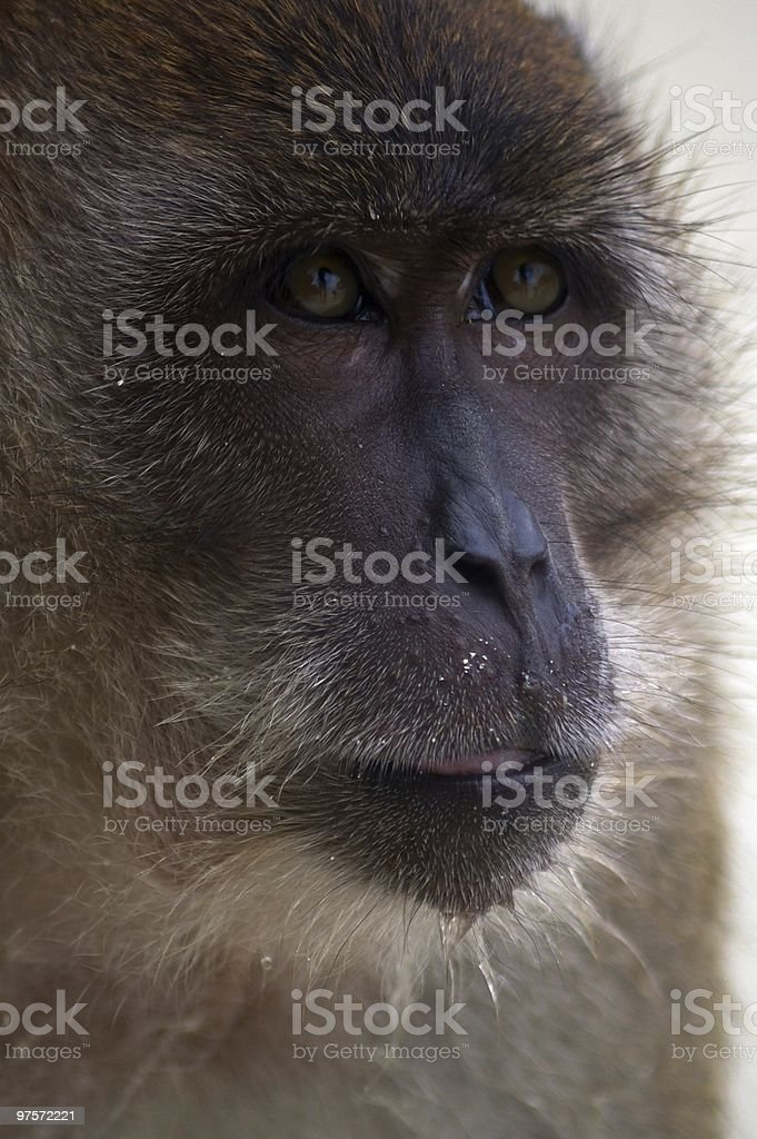 monkey island royalty-free stock photo