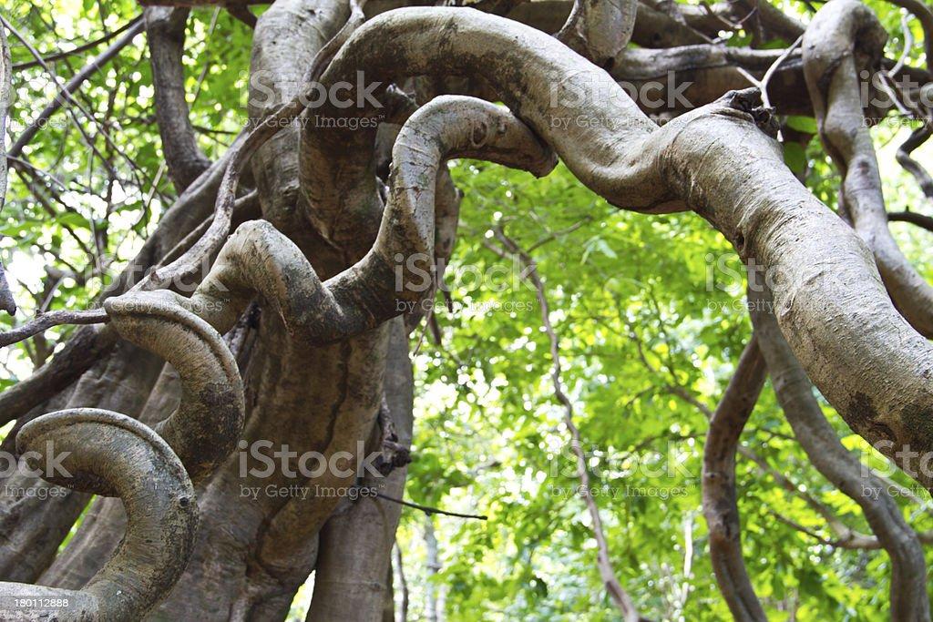 Monkey Ladder lianas (Bauhinia sp.) in tropical rain forest Thai stock photo
