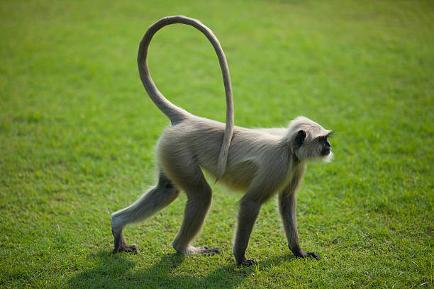 Monkey langur or hanuman on the green grass in India Sacred monkey, grey langur or hanuman on the green grass in India langur stock pictures, royalty-free photos & images