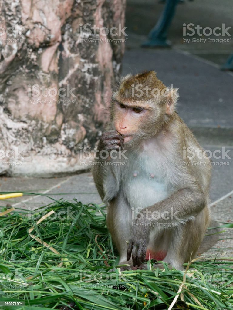 Monkey, Long tailed macaque or crab eating macaque, finding adn eating food in a zoo next to the jungle stock photo