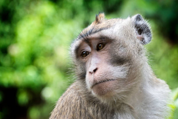 Monkey - Long-tailed macaque (Macaca fascicularis) close up stock photo