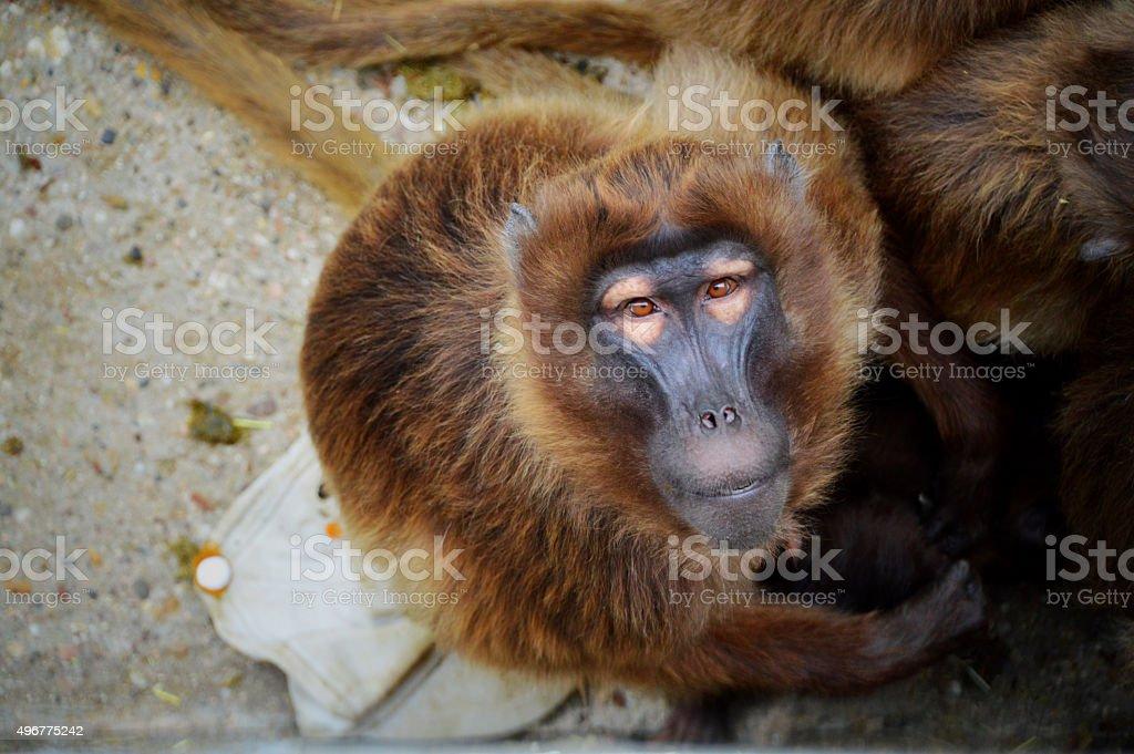 Monkey looking at camera stock photo