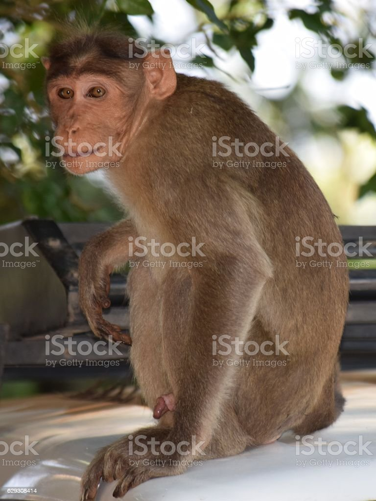 Monkey Looking for meeting partner stock photo
