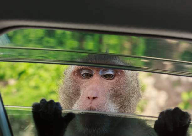 Monkey looking in the car through a car window. stock photo