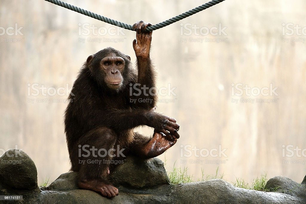 Scimmia ricerca foto stock royalty-free