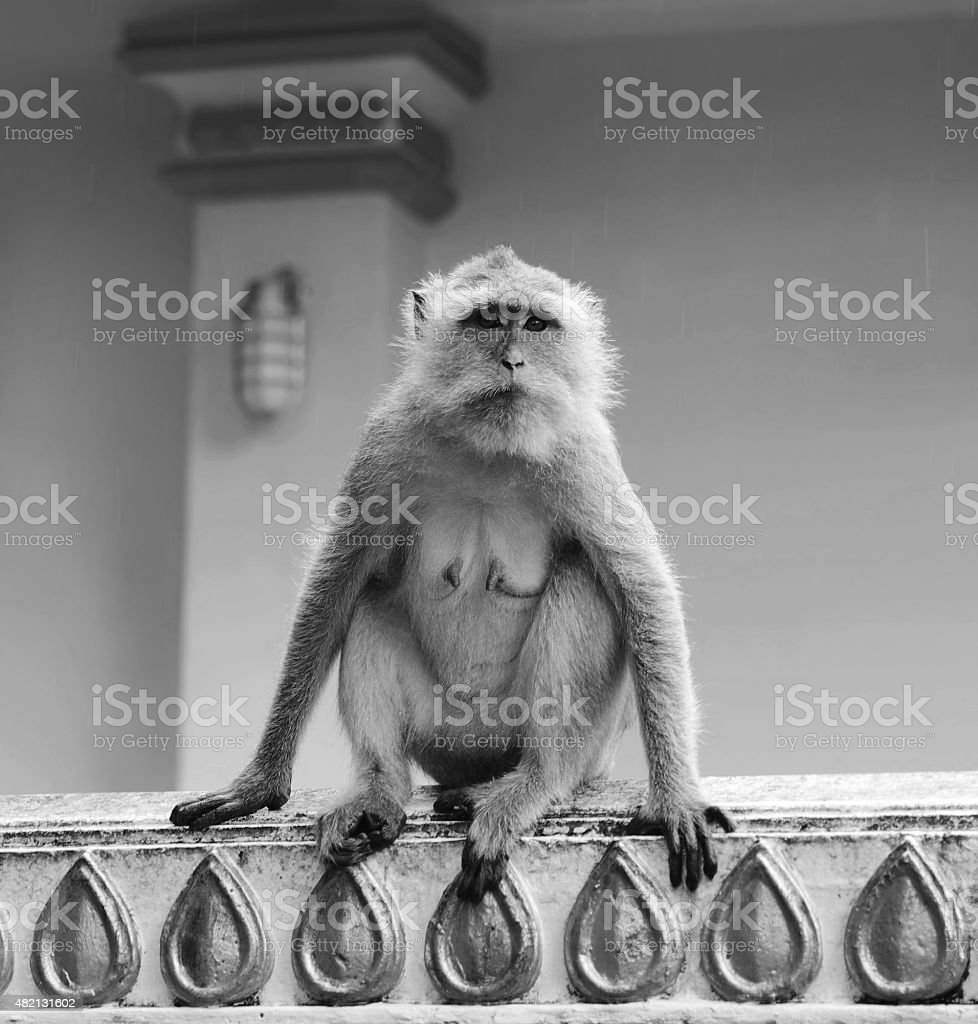 Monkey Macaque closeup in black-white stock photo