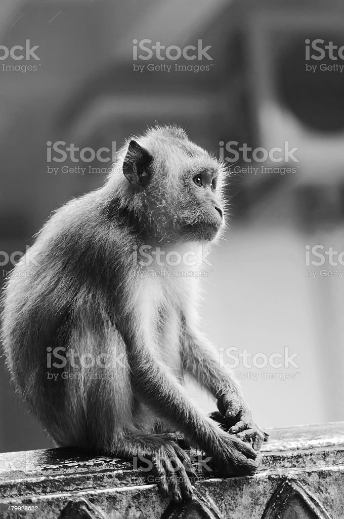 Monkey Macaque closeup in black-white view. stock photo