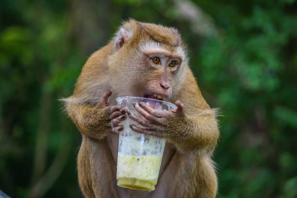 a monkey macaque drinks a cocktail - macaco foto e immagini stock