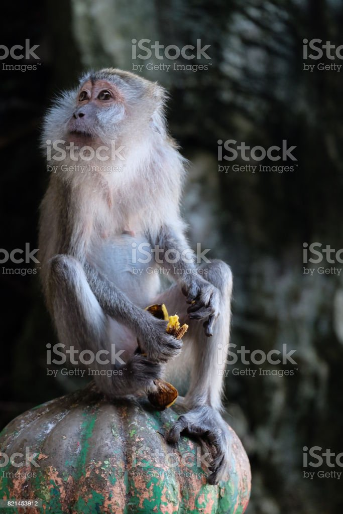 Monkey Macaque stock photo