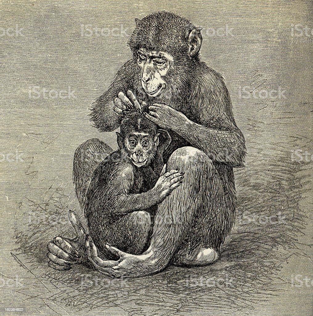 Monkey Mamma Engrave stock photo