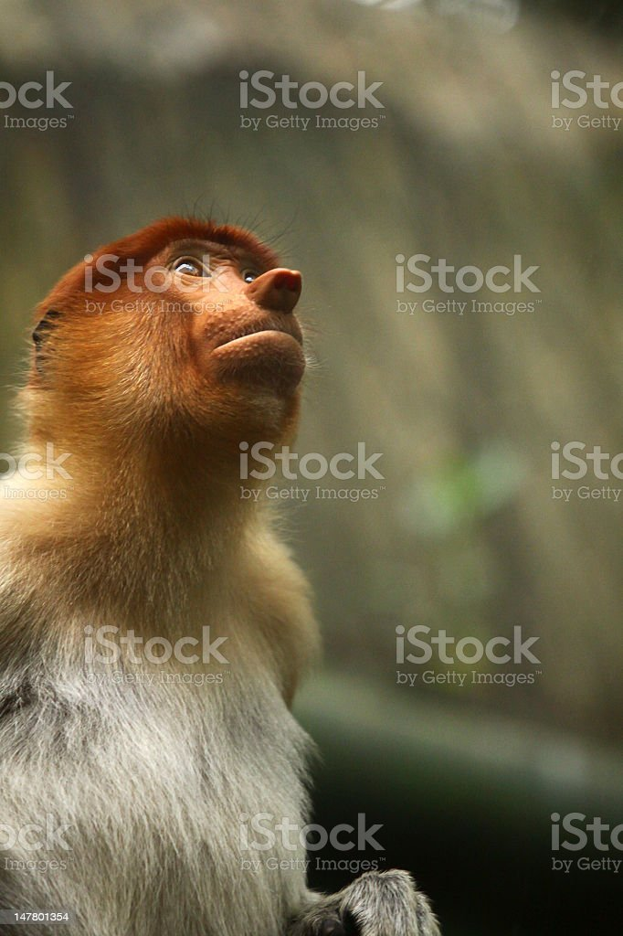 bekantan monkey royalty-free stock photo