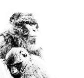 Monkey mother and child cuddling - monochrome