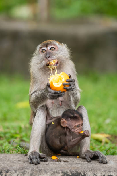 Monkey mother and child eating oranges, Malaysia Malaysia: Monkey mother with an animal child eating oranges. batu caves stock pictures, royalty-free photos & images