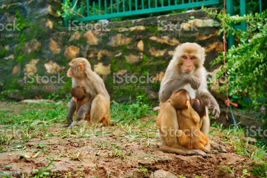 monkey mothers with offspring at buddhistic Swayambhunath temple in Kathmandu stock photo