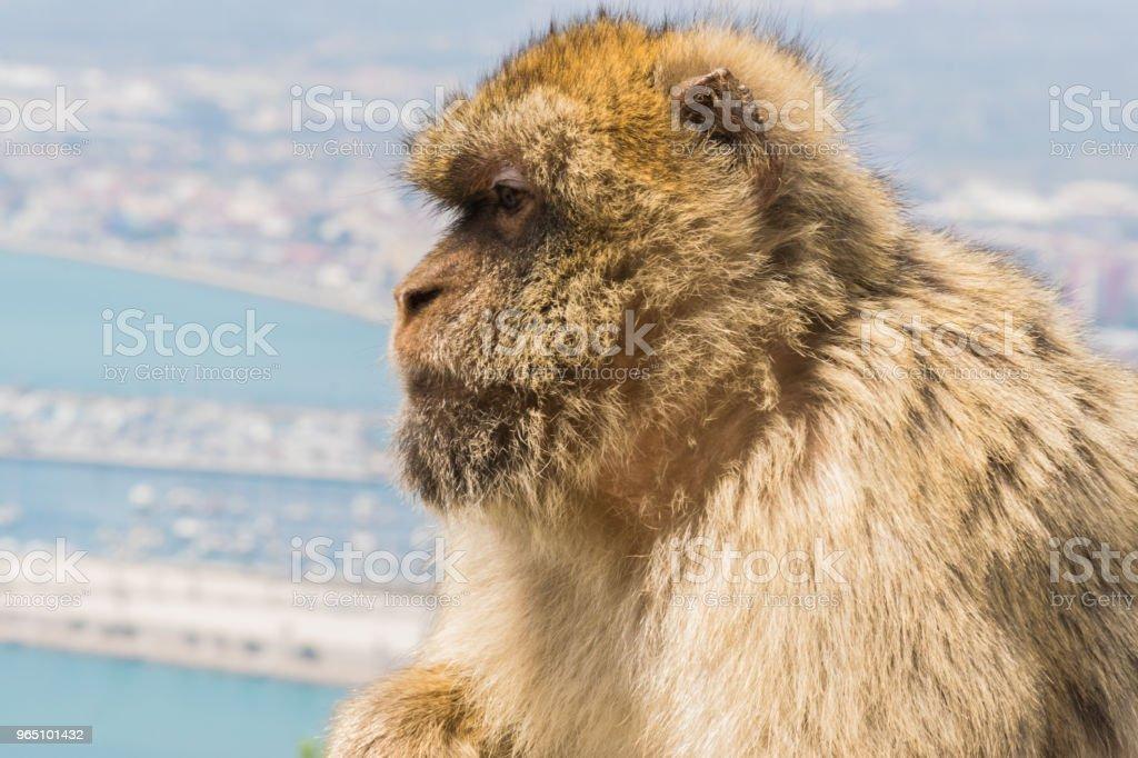 Monkey of Gibraltar zbiór zdjęć royalty-free