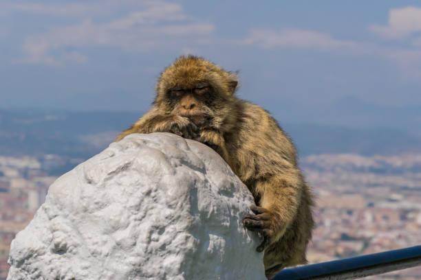singe de gibraltar - singe magot photos et images de collection