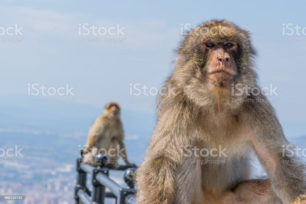 Monkey of Gibraltar royalty-free stock photo