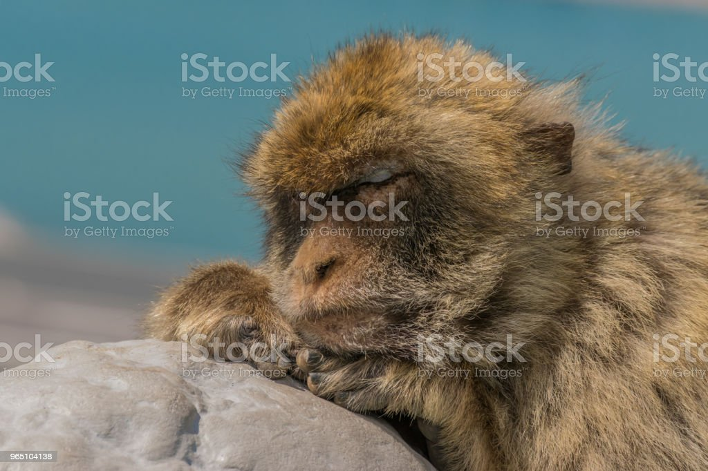 Monkey of Gibraltar royalty-free stock photo