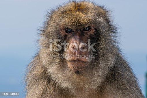 Monkey Of Gibraltar - Stockowe zdjęcia i więcej obrazów Bez ludzi