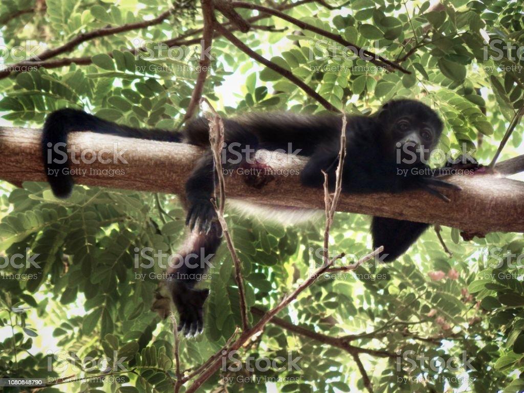 Monkey on a branch stock photo