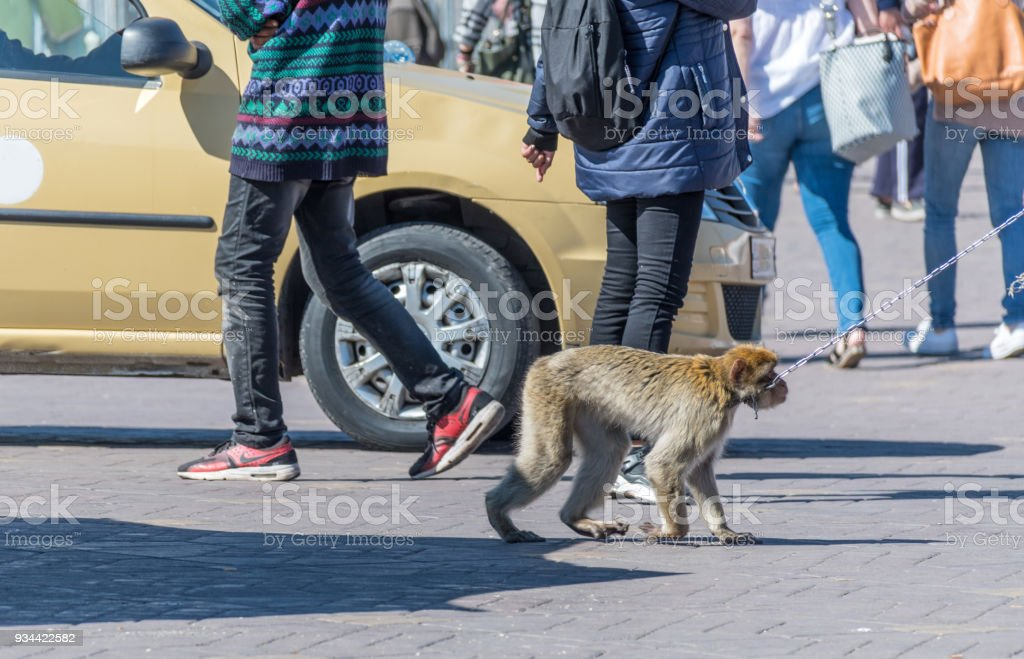Monkey on a chain in Jemaa el-Fna public square in Marrakesh stock photo