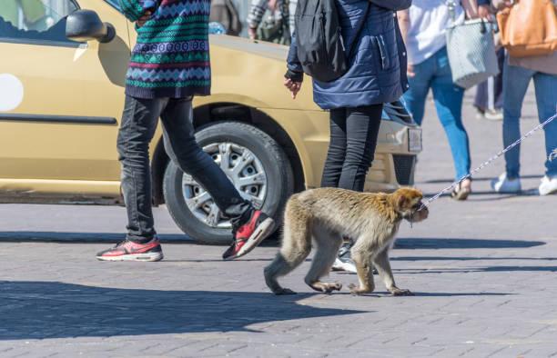 Monkey on a chain in Jemaa el-Fna public square in Marrakesh stock photo