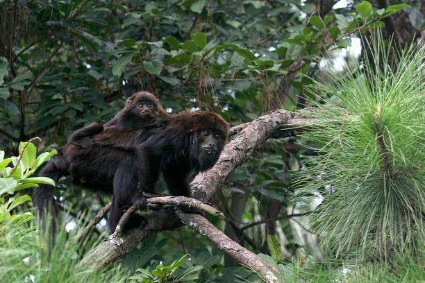 monkey on atlantic forest, brazil - bugio imagens e fotografias de stock