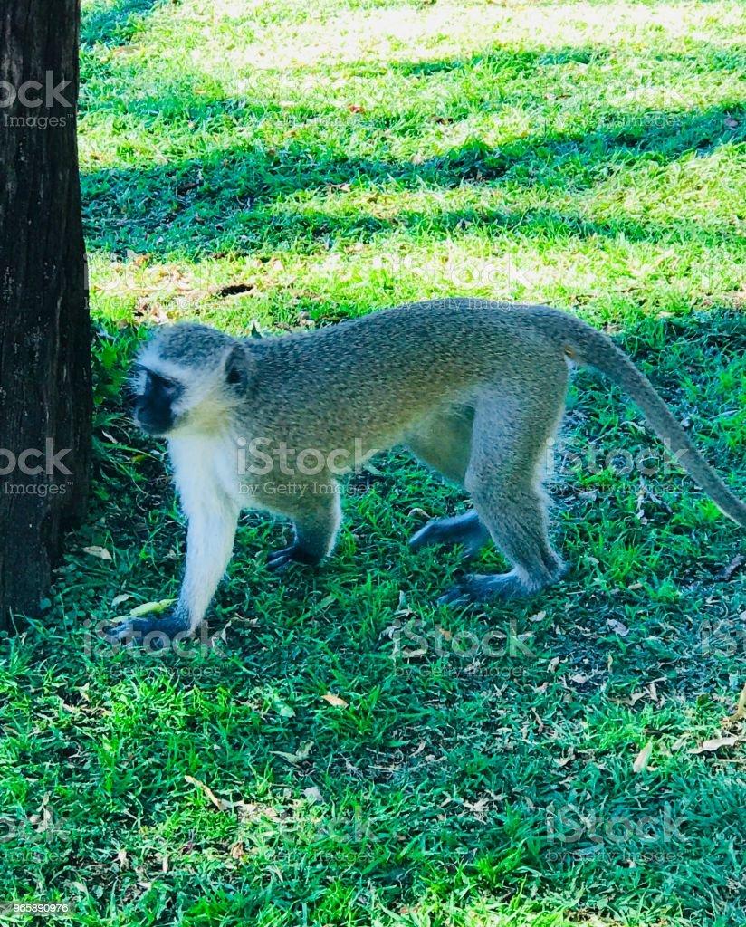 Monkey on Safari - Royalty-free Africa Stock Photo