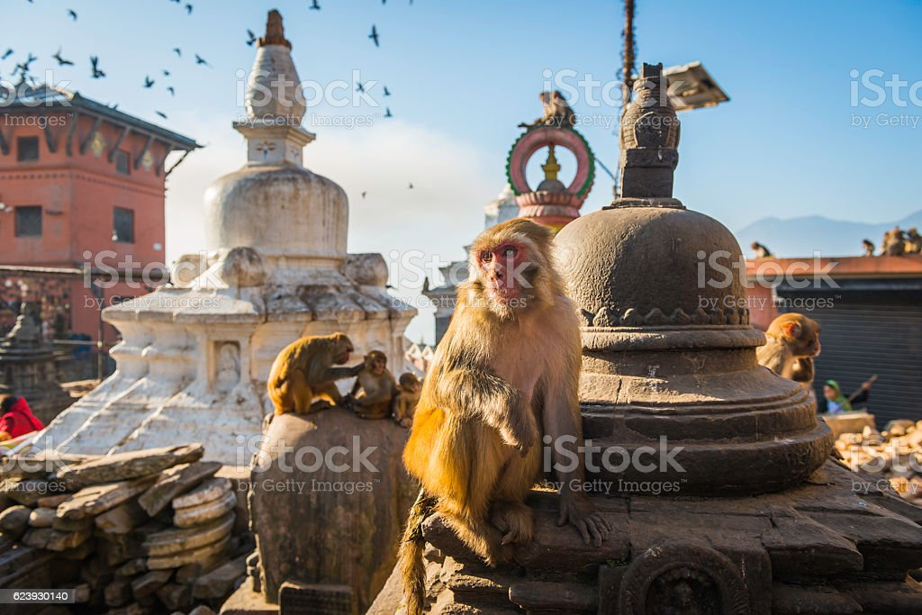 Monkey on stupa at Swayambhunath temple iconic landmark Kathmandu Nepal stock photo