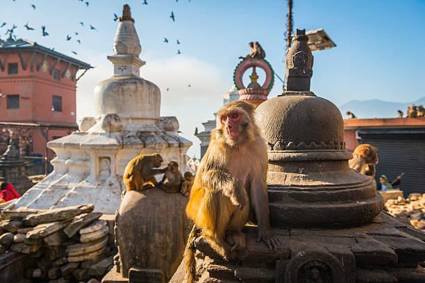 monkey on stupa at swayambhunath temple iconic landmark kathmandu nepal - macaco foto e immagini stock