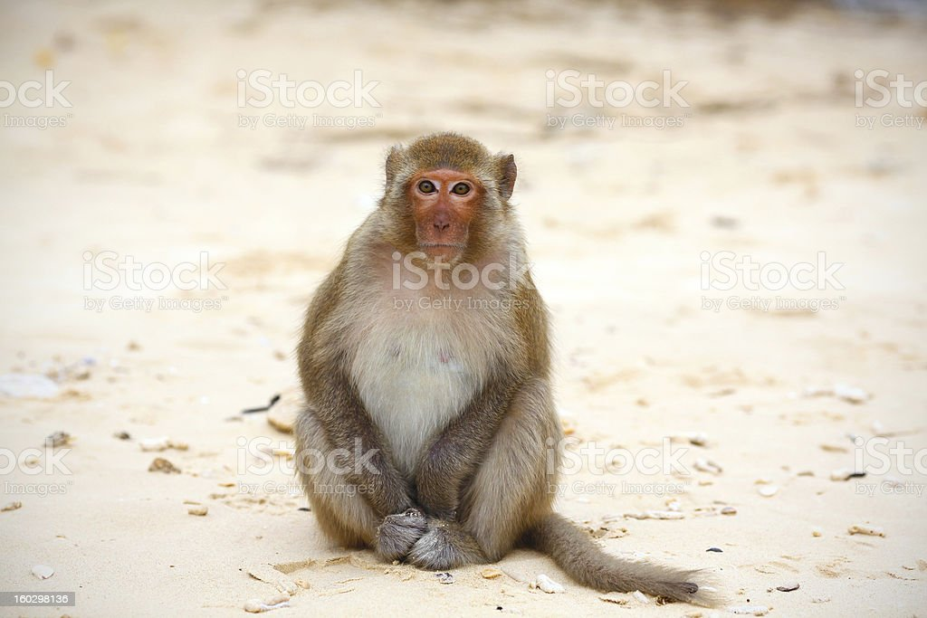 Monkey on the beach, relaxed and friendly looking straight royalty-free stock photo