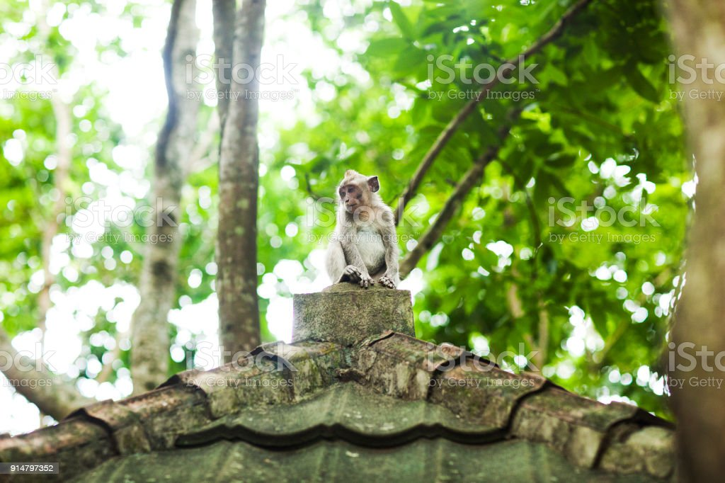 Monkey on the roof stock photo