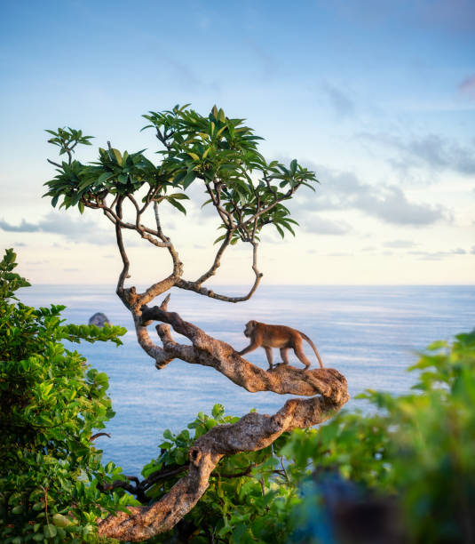 Monkey on the tree animals in the wild landscape during sunset beach picture id1142480419?b=1&k=6&m=1142480419&s=612x612&w=0&h=zotpnnnij9qu fwsf0gdiyay9pph7esr6rlnjnj6qz0=