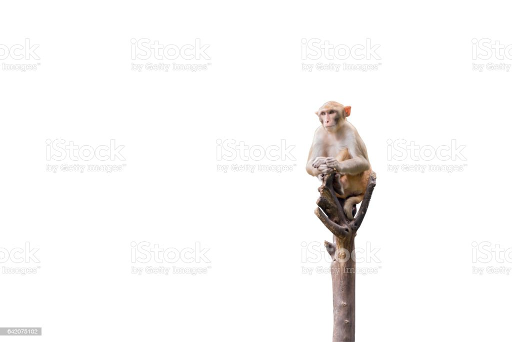 Monkey on the tree isolated on white background. Clipping path stock photo