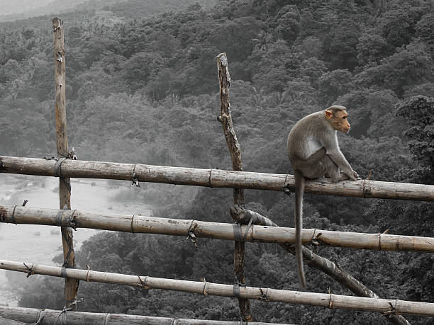 Monkey ona Fence stock photo