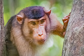 (Selected focus of) Wild Southern pig-tailed macaque (Macaca nemestrina), also known as the Sundaland pigtail macaque and Sunda pig-tailed macaque. Big alpha male monkey.