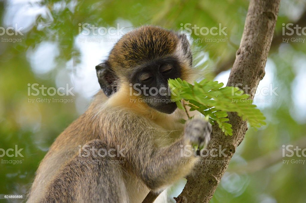 Monkey- Orange Hill Rockly - foto de acervo