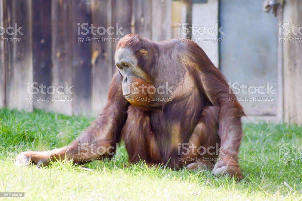 Monkey Orang-Outang walking in a green stock photo