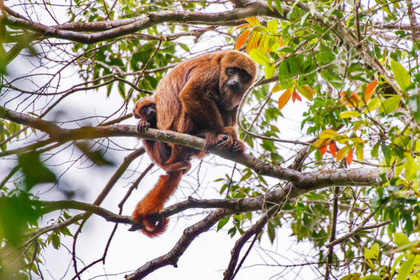 monkey photographed in espirito santo. - bugio imagens e fotografias de stock