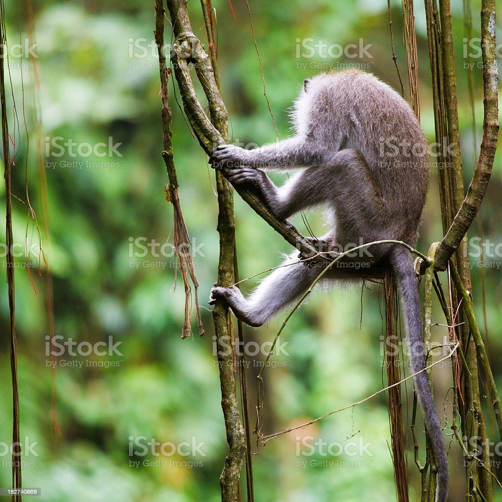 monkey royalty-free stock photo