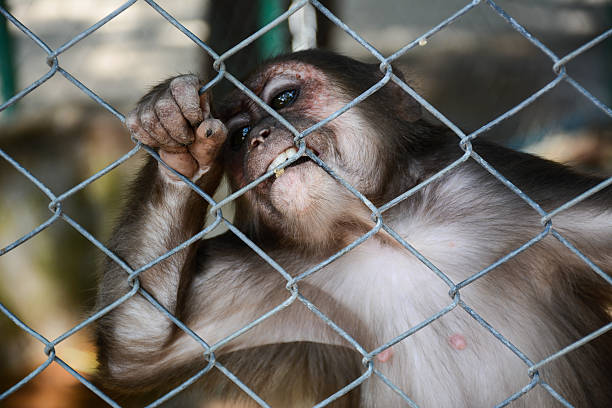 Monkey Monkey in a Cage,Not Freedom monkey stock pictures, royalty-free photos & images