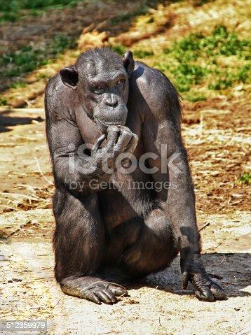 Chimpanzee posing as the Thinker